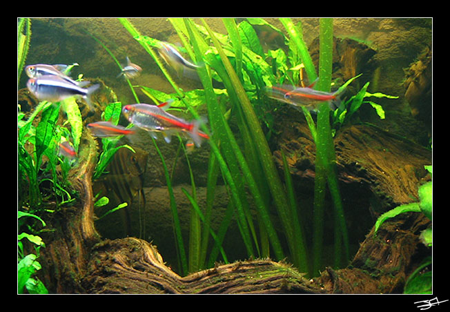 Rami13500 Article Aquario Poisson Amazonien